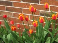 tulip flowers with brick wall in background