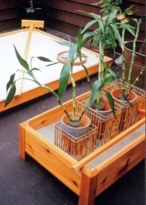 bamboo in planter