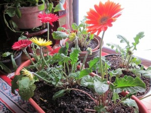 red flowers growing in pot on window sill